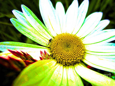 Psycadella Daisy by Shana Blake