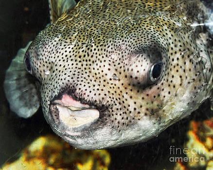 Anne Ferguson - Puffer Fish Portrait