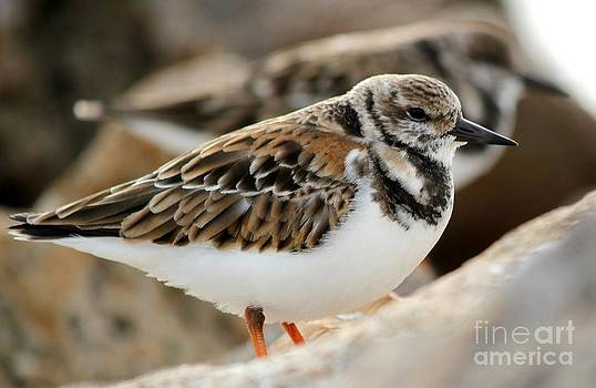 Puffy Turnstone by Theresa Willingham