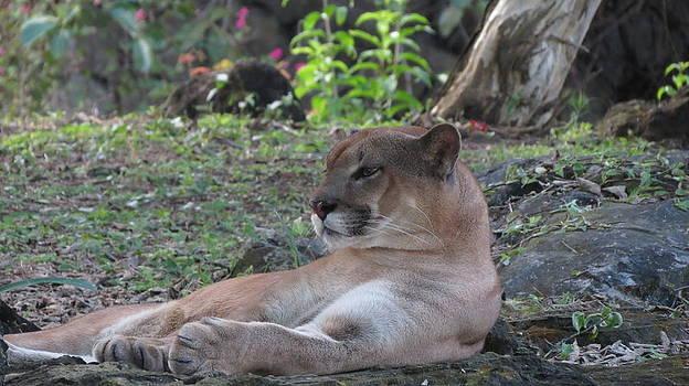 Puma by Keith Rohmann