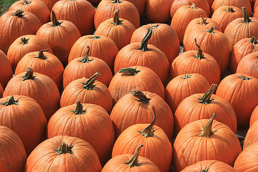 Pumpkin Patch by Andrea Lucas