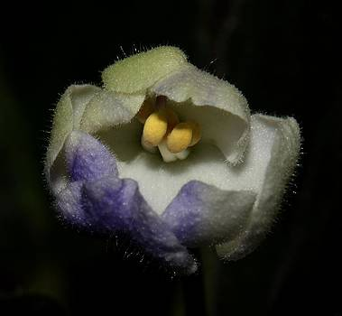 Purple and White African Violet - 2 by Robert Morin