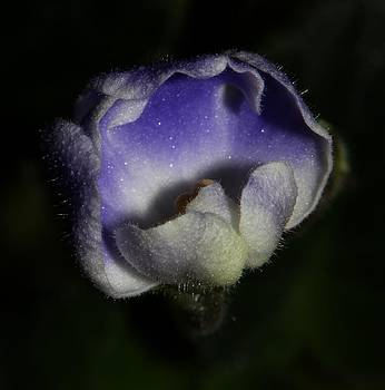 Purple and White African Violet - 3 by Robert Morin