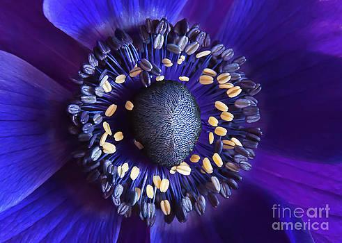 Purple Anemone by Maria Aiello