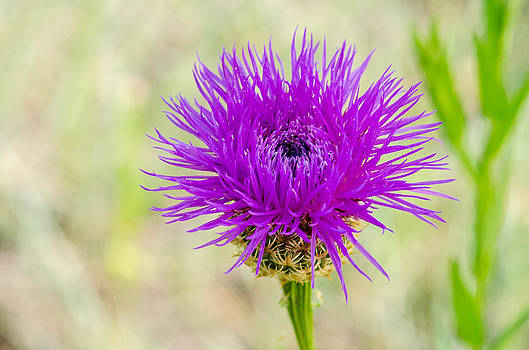 Purple Basket Flower by Ray Downs