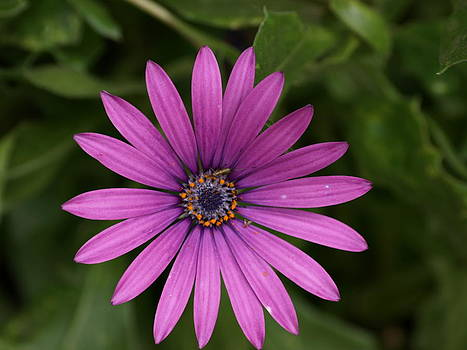 Purple Blaze by Carol Evans