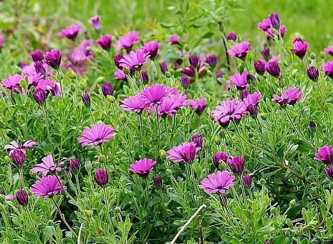 Jim Goldseth - Purple Fields Forever