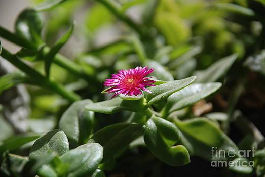 Purple flower by Saajid Abuluaih