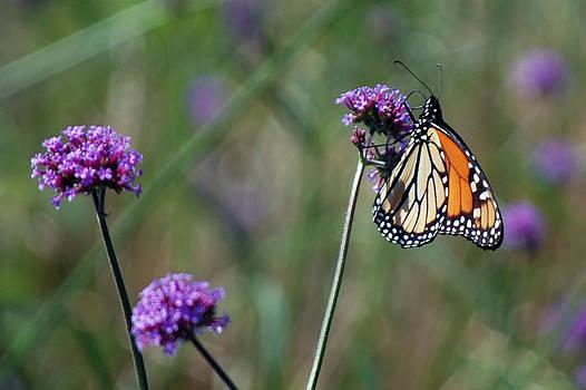 Harvey Barrison - Purple Flower with Butterfly