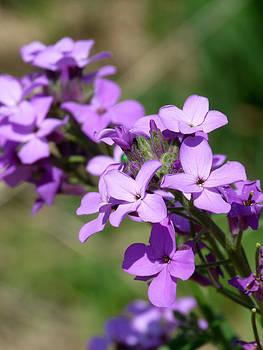 Terry Eve Tanner - Purple Flowers in Nebraska
