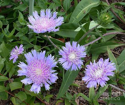 Tim Mulina - Purple Flowers