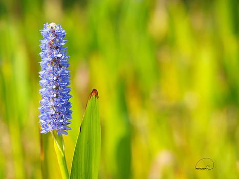 Purple Hyacinth by Meir Ezrachi