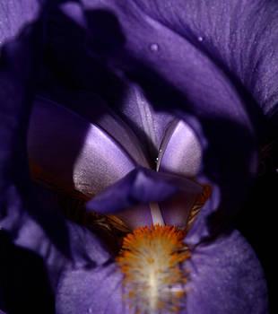 Purple Iris - 2 by Robert Morin