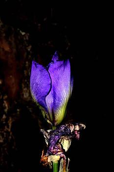 Purple Iris - 3 by Robert Morin
