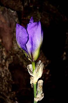 Purple Iris - 4 by Robert Morin