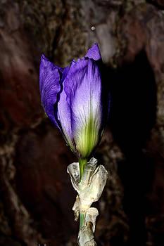 Purple Iris - 5 by Robert Morin