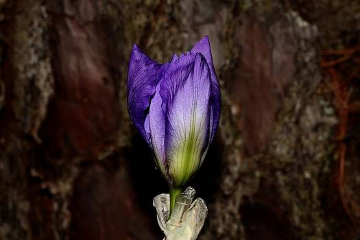 Purple Iris - 6 by Robert Morin