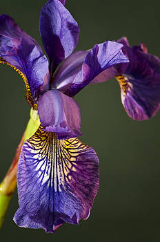 Purple Iris by Xenia Seurat