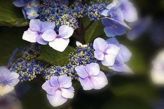 Diana Cox - Purple Lacecaps