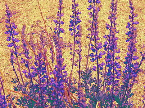 Purple Lupines by Claire Plowman