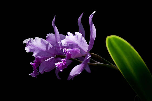 Purple Orchids on Black by Marcus Taylor