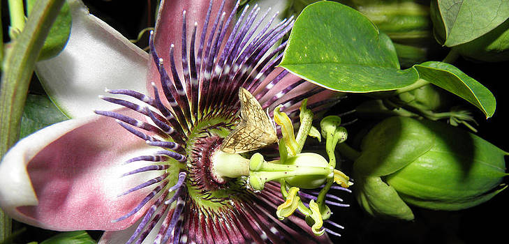 Purple Passion Flower  by Kim Galluzzo Wozniak