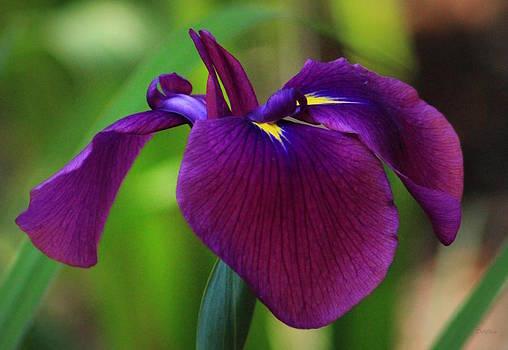 Purple Radiance by Deborah  Crew-Johnson