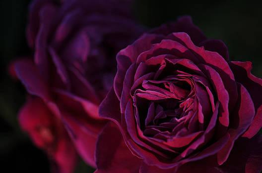 Purple Rose by Jana Goode