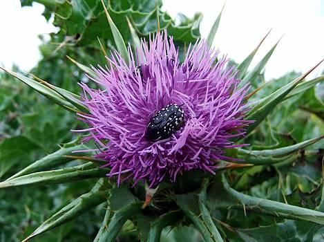 Purple Thistle Flower and Beetle by Steve Mangan