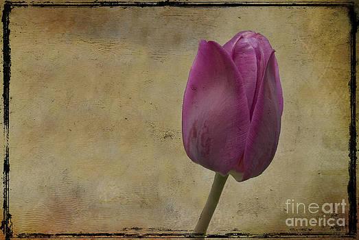 Purple tulip by Jim Wright