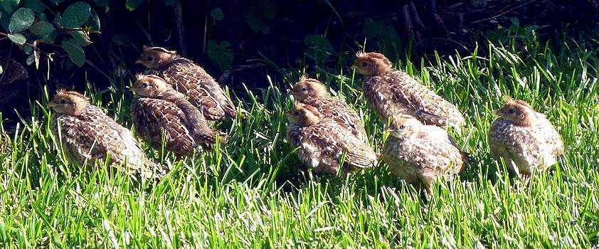 Quail Chicks by Will Borden
