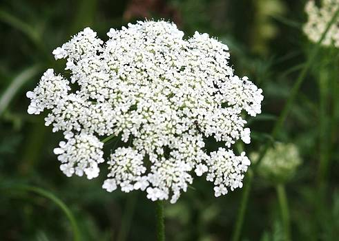 Donna Walsh - Queen Annes Lace