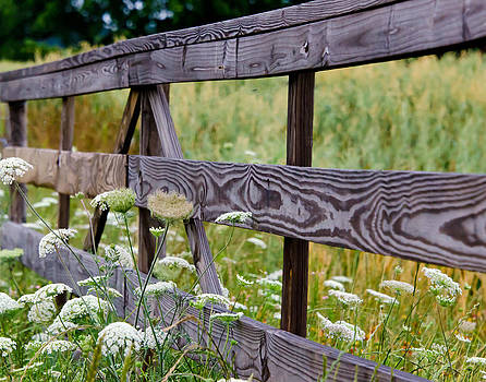 Queen Anne's Lace on the Fence Row by Lisa Moore