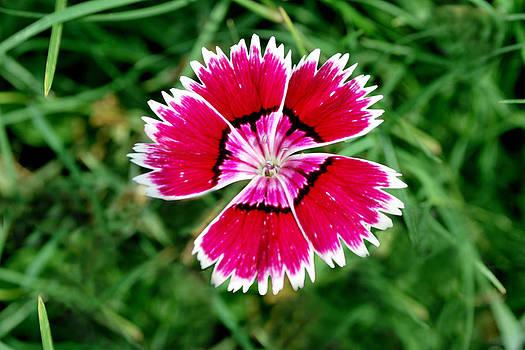 Queen Flower by Denis Shah