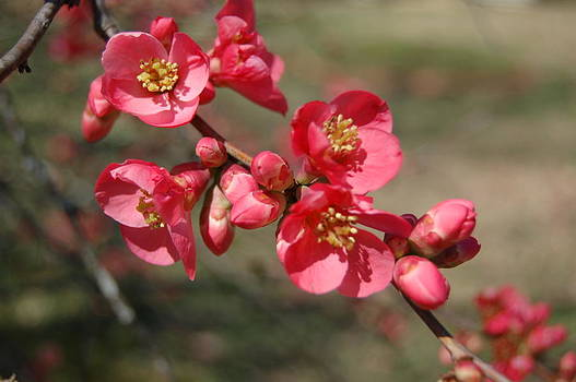 Quince 2 by Paul Thomley