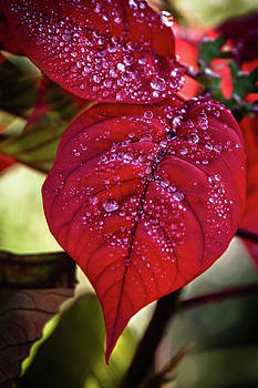 James Woody - Rain Drops on Red Leaves