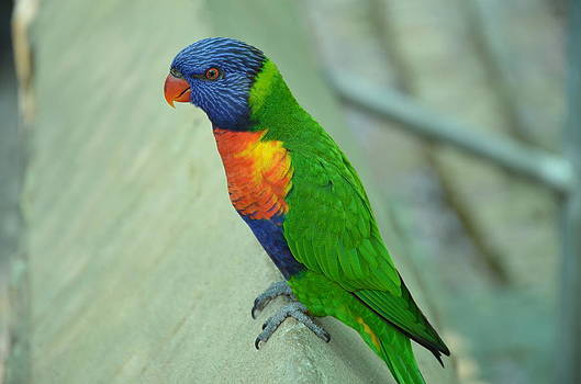Rainbow Bird by Kathy Lewis