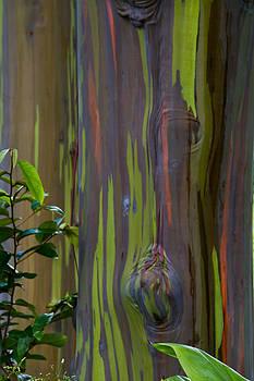 Roger Mullenhour - Rainbow Eucalyptus