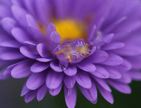 Raindrop On An Aster  by Joan Powell