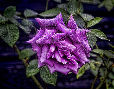 Terry Shoemaker - Raindrops on a Rose