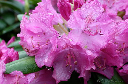 Anne Babineau - raindrops on rhody