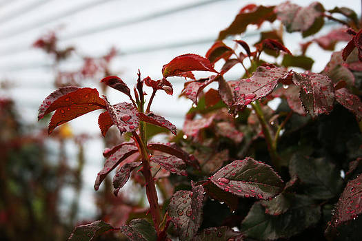 Rainy Day on Rose Bushes by Kristen Temnyk
