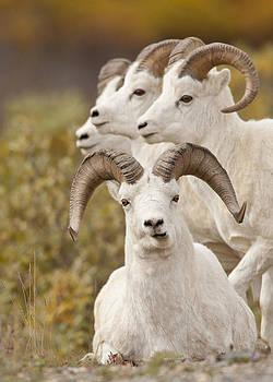 Tim Grams - Rams in a Row