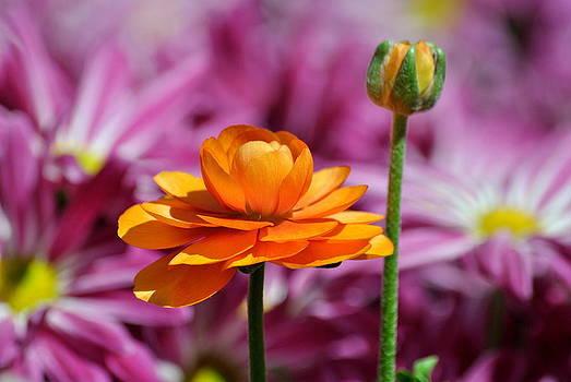 Ranunculus - Buttercup by Eleu  Tabares