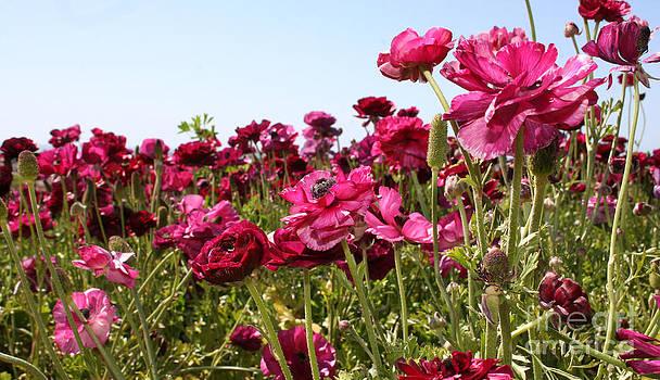 Ranunculus Blooms - 1 by Melina Geil