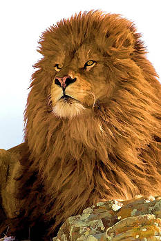 Rare Barbary Lion Portrait by Dennis Fast