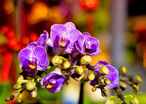 Rare Violet Xijiang Royal Orchid by Enrique Rueda