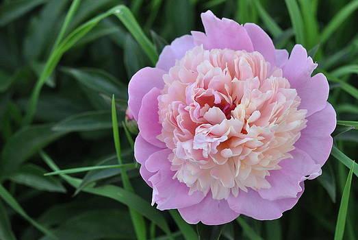 Raspberry Sorbet by Carole Rockman