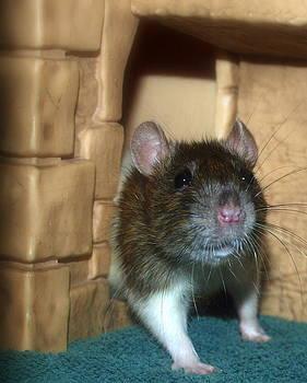 Rat Exploring by Kristal Kobold