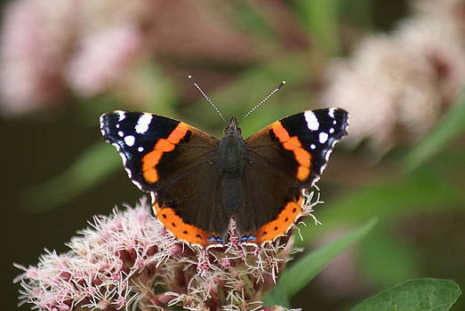 Red Admiral Butterfly by Christopher Beardall